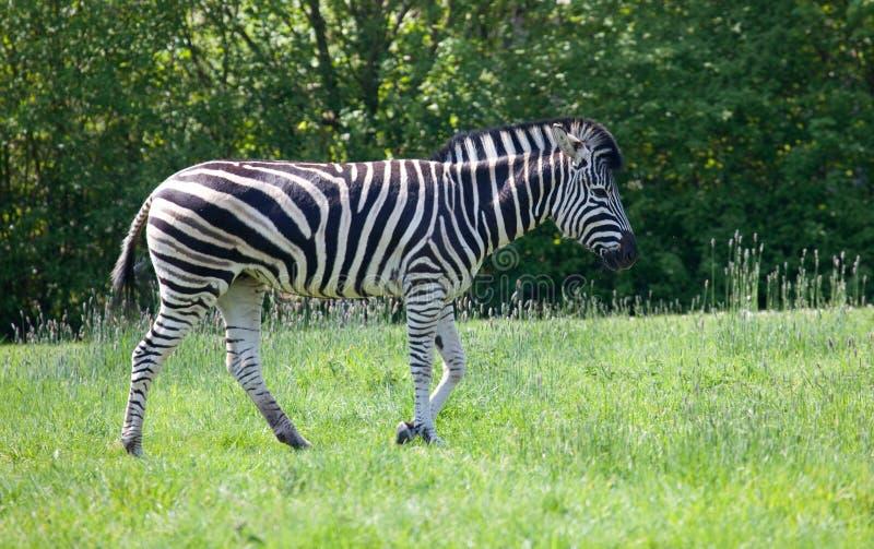 chapmans засевают гуляя зебра травой стоковые изображения