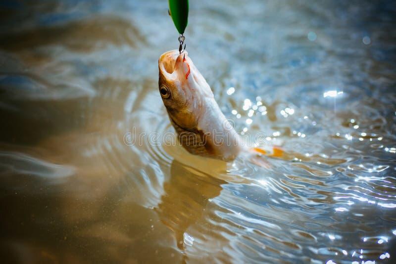 Chapoteo de la pesca de la lubina Cogida de un pescado grande con trole Pesca del se?uelo imágenes de archivo libres de regalías
