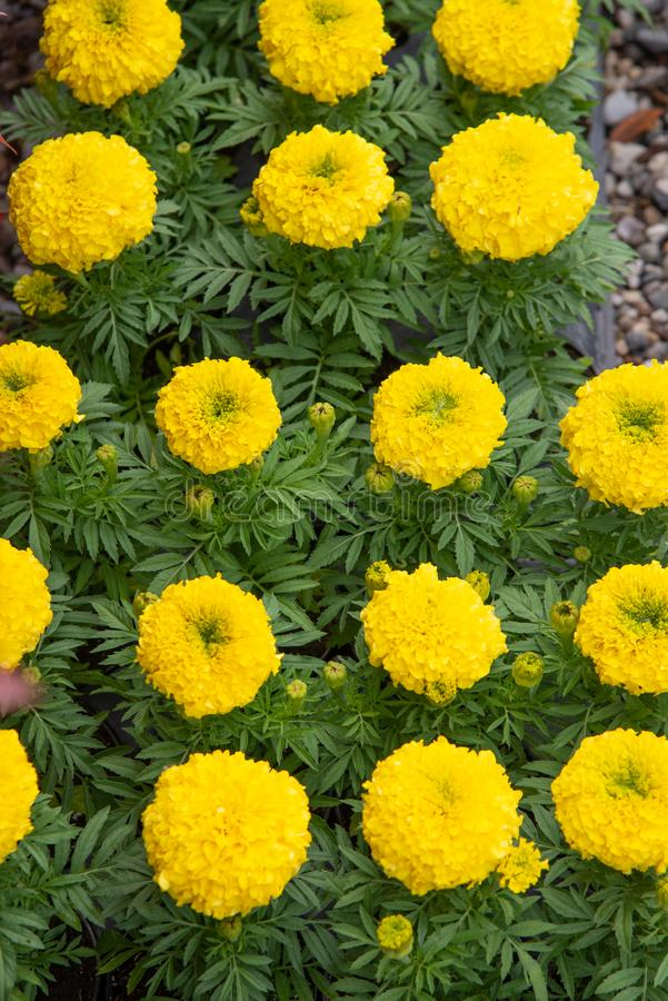The sunflower pon pon, also known as `sunflower teddy bear`,. Is characterized by a common bright yellow color but incredibly thick and `pompous` petals stock images