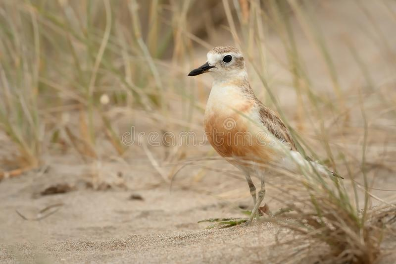 Charadrius obscurus aquilonius - New Zealand dotterel - tuturiwhatu on the beach. In New Zealand royalty free stock images