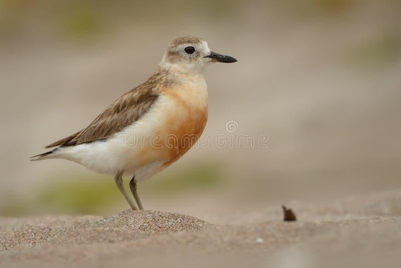 Charadrius obscurus aquilonius tuturiwhatu na plaży - Nowa Zelandia mornel - zdjęcia stock