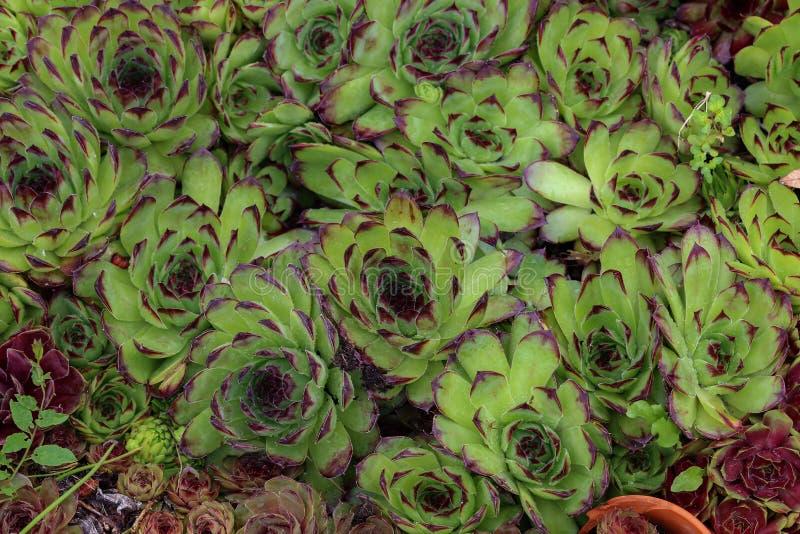Charadzeae, houseleeks ou liveforever de Sempervivum no jardim da mola fotografia de stock