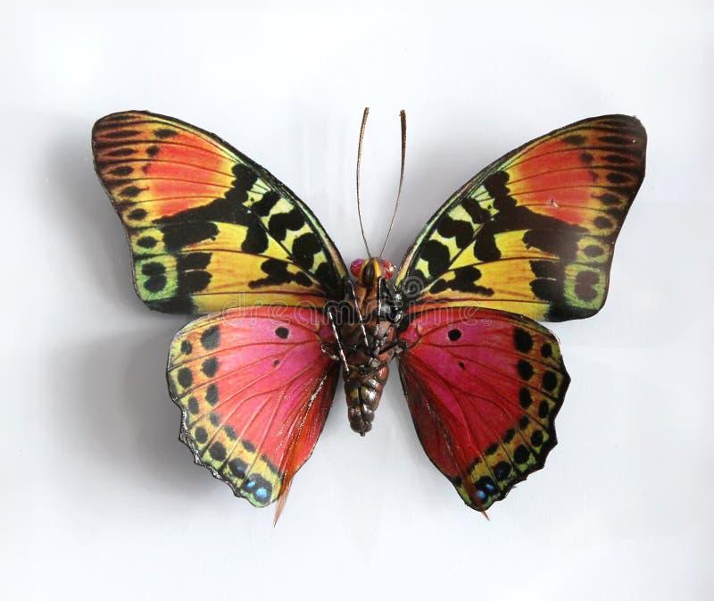 Charaxes Fournierae Fournierae uma borboleta gigante bonita imagem de stock