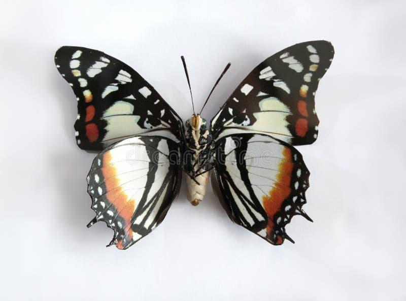 Charaxes Superbus una bella farfalla gigante fotografie stock libere da diritti