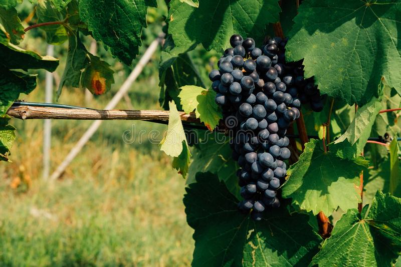 Charbono grapes growing in vineyards. Beautiful blue grape cluster with green leaves, close up. Copy space stock photos
