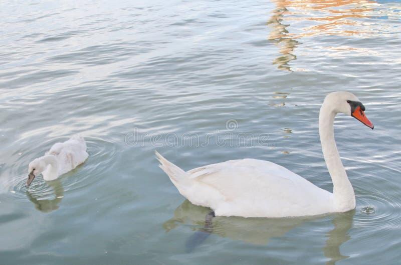 Charca con el cisne y el patito feo foto de archivo