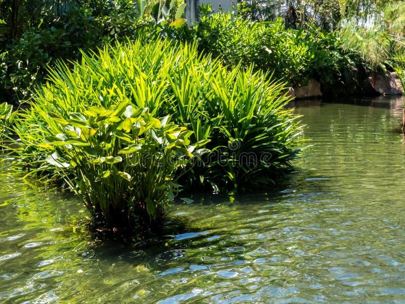 Charca con las plantas acuáticas foto de archivo