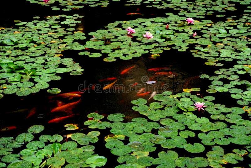 Charca de loto en la lluvia imagenes de archivo