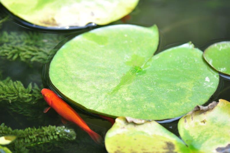 Charca del Goldfish imágenes de archivo libres de regalías