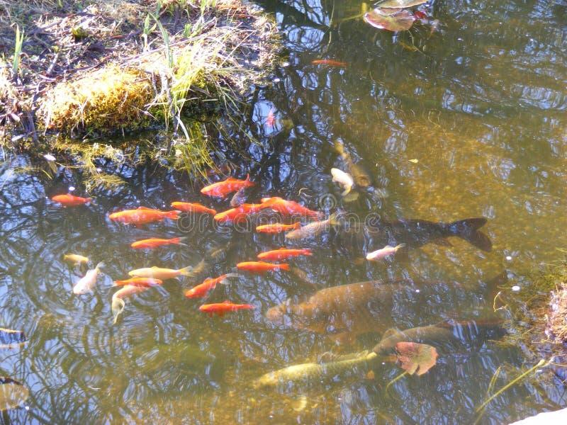 Charca del jardín con la carpa y el pez de colores de Koi imagen de archivo
