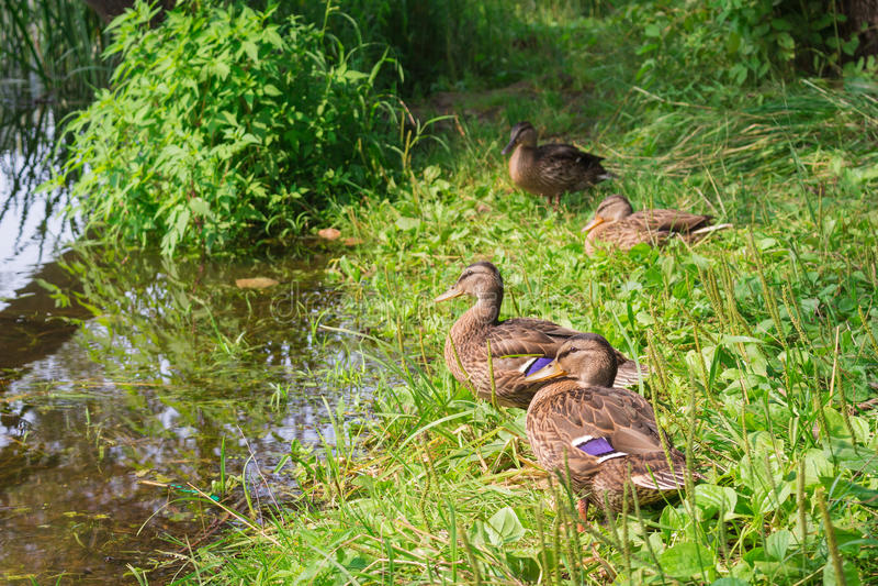Charca del pato, en la hierba verde fotos de archivo libres de regalías