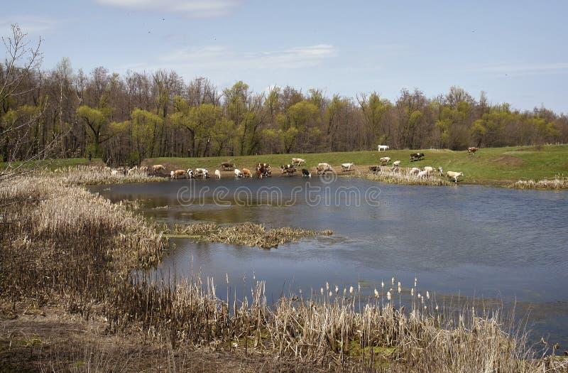 charca Nubes Vacas foto de archivo