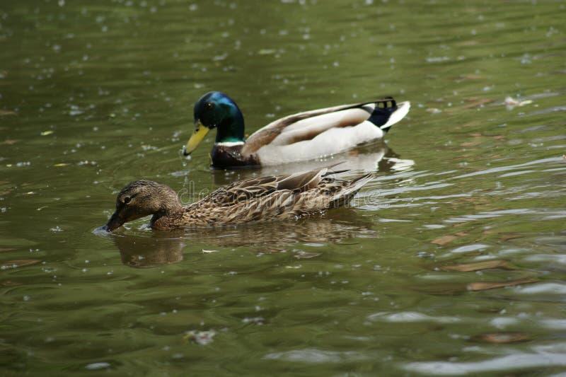 Charca reservada Vida tranquila de patos salvajes imagen de archivo