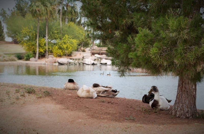 Charca sillar del parque, Gilbert, Arizona imagen de archivo
