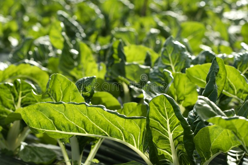 chard kultywaci pola zieleni cieplarnia obrazy stock