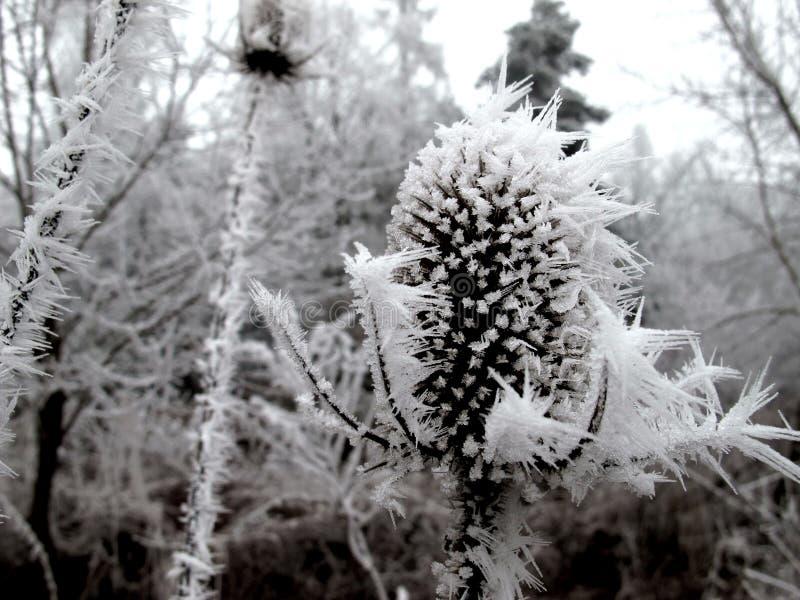 Chardon congelé images stock