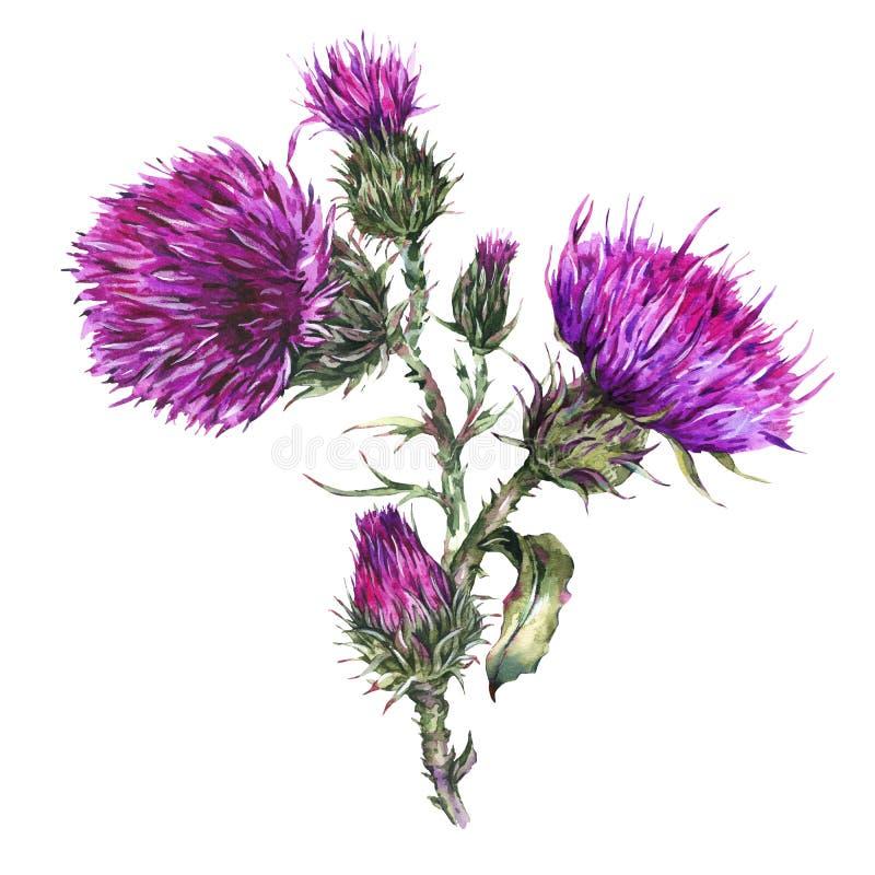 Chardon d'aquarelle, illustration de fleurs sauvages, herbes de pré illustration libre de droits