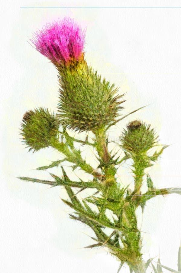 Chardon de floraison de dessin d'aquarelle illustration libre de droits