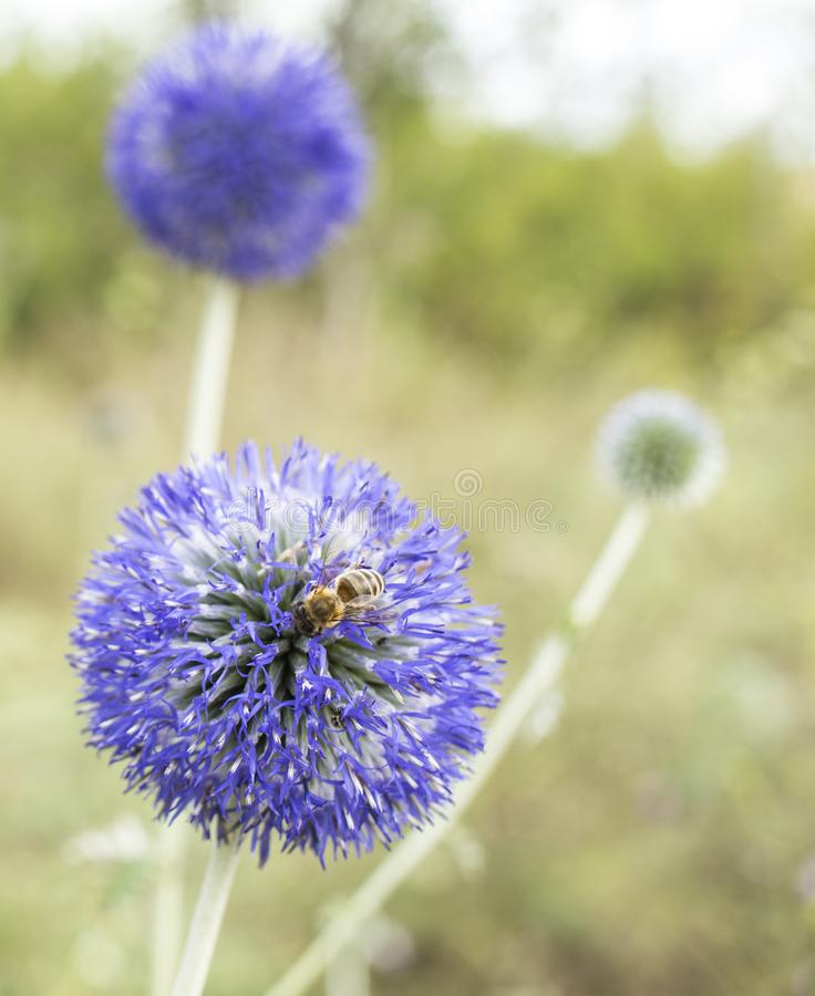 Chardon de globe bleu de lueur de banaticus d'Echinops photo libre de droits