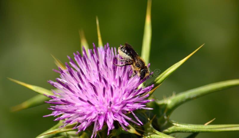 Chardon de lait et petite abeille photos stock