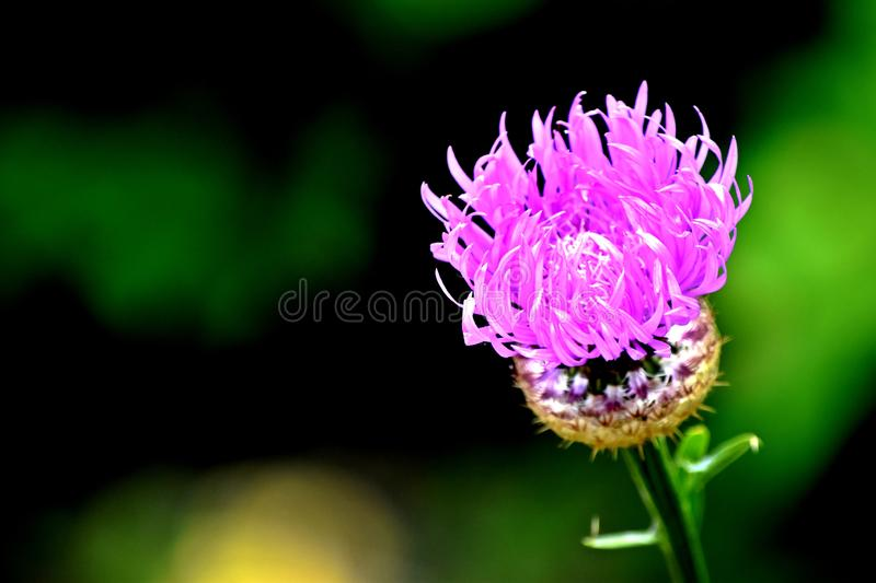 Chardon de lance, chardon commun, fleur Pourpre-rose, photo stock