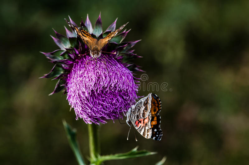 Chardon et Butterflys images stock