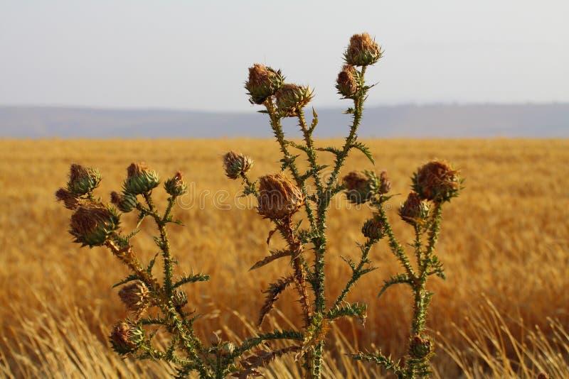 Chardon sec en Israël photo libre de droits