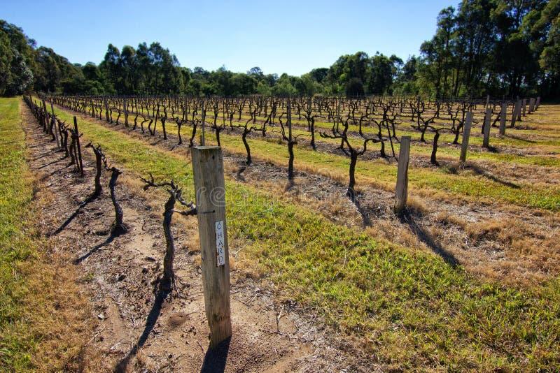 Chardonnay αμπελώνας στοκ εικόνες