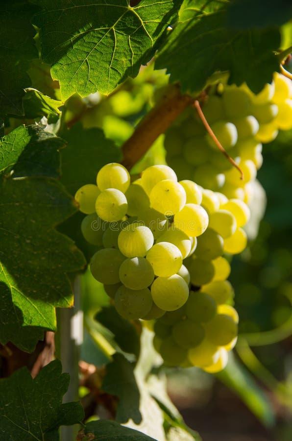 Chardonnay σταφύλια κρασιού στοκ φωτογραφίες με δικαίωμα ελεύθερης χρήσης
