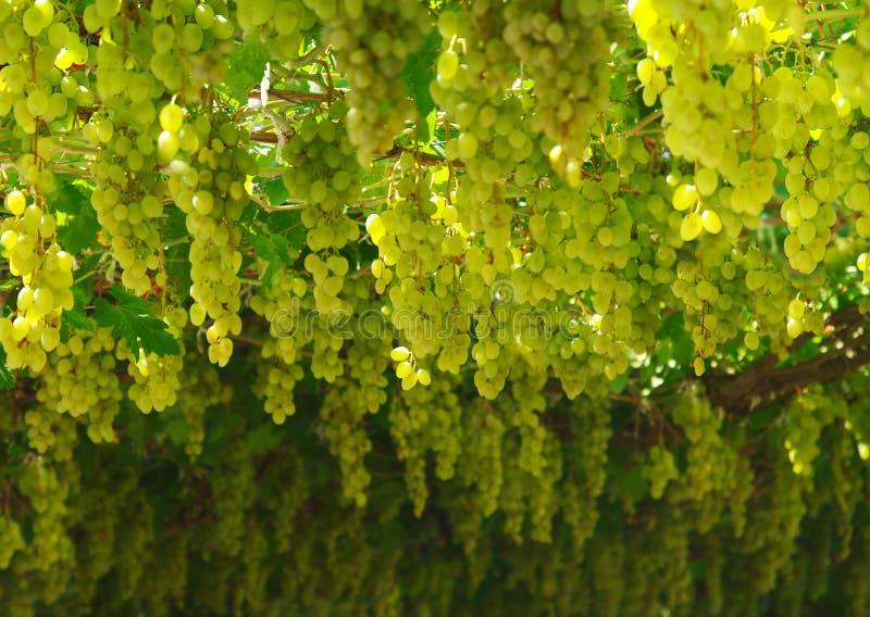 Chardonnay. colhendo uvas fotografia de stock royalty free