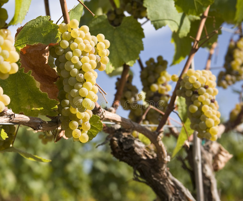 Chardonnay-Trauben im Weinberg lizenzfreie stockbilder