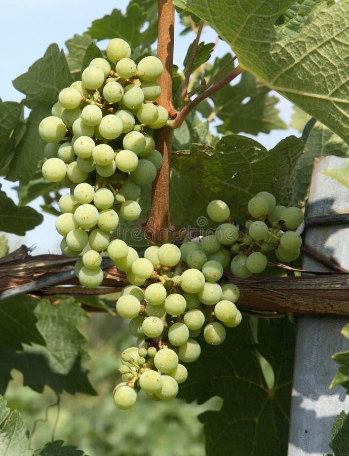 chardonnay winogron obrazy royalty free