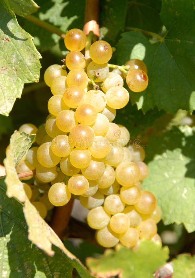 chardonnay winogron fotografia stock