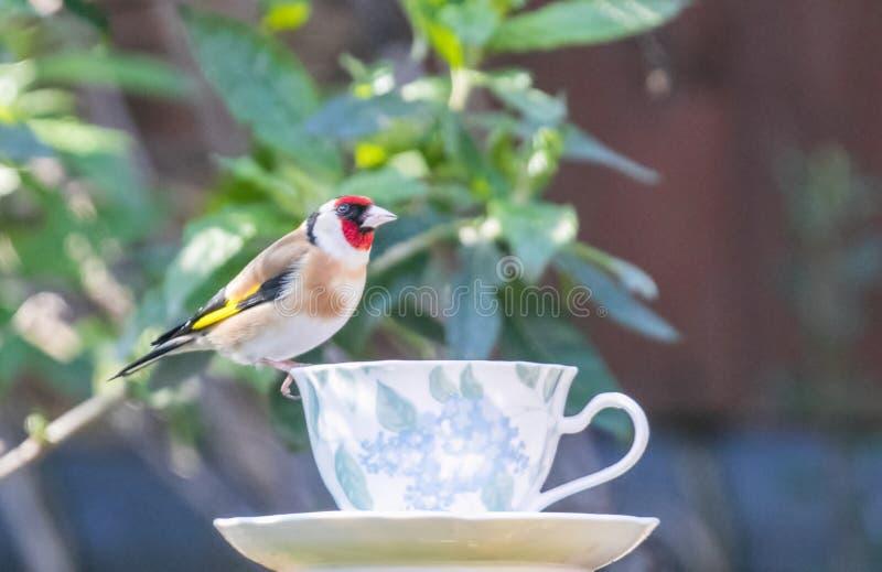 Chardonneret sur une tasse de thé images stock