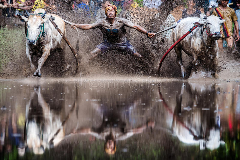 Charge of the Bulls stock image