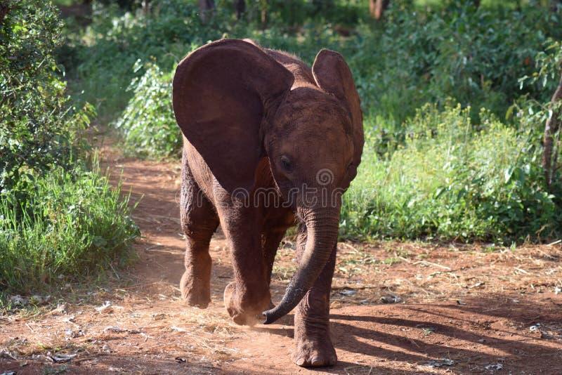 Charge d'éléphant image libre de droits