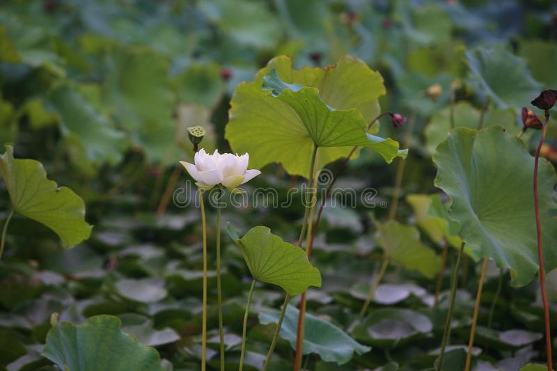 Charge. Lotus is a kind of water seedling cultivation business. Lotus is also known as lotus flower and water lotus. Lotus is a kind of aquatic plant. It enjoys stock images