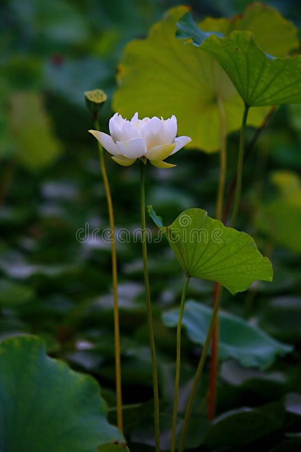 Charge. Lotus is a kind of water seedling cultivation business. Lotus is also known as lotus flower and water lotus. Lotus is a kind of aquatic plant. It enjoys royalty free stock images