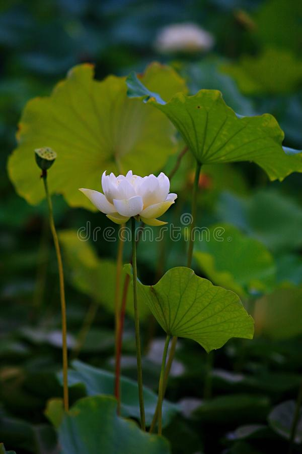 Charge. Lotus is a kind of water seedling cultivation business. Lotus is also known as lotus flower and water lotus. Lotus is a kind of aquatic plant. It enjoys stock photos