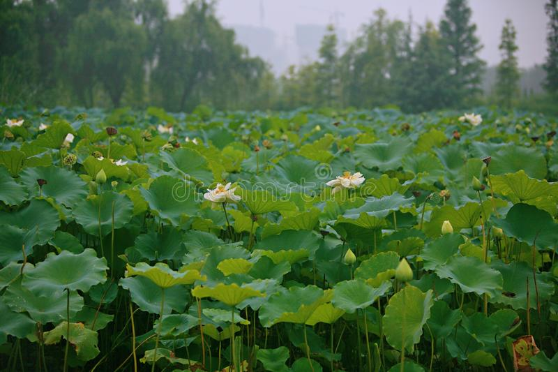 Charge. Lotus is a kind of water seedling cultivation business. Lotus is also known as lotus flower and water lotus. Lotus is a kind of aquatic plant. It enjoys royalty free stock photo