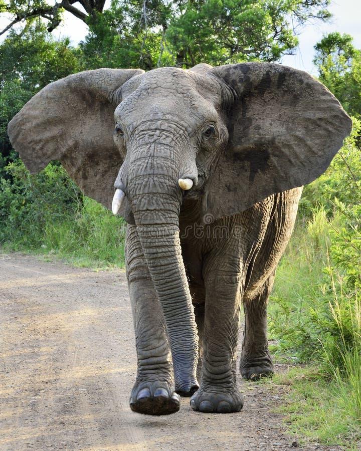Free Charging Elephant Stock Photos - 24313803