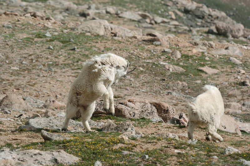 Charging Mountain Goat royalty free stock images