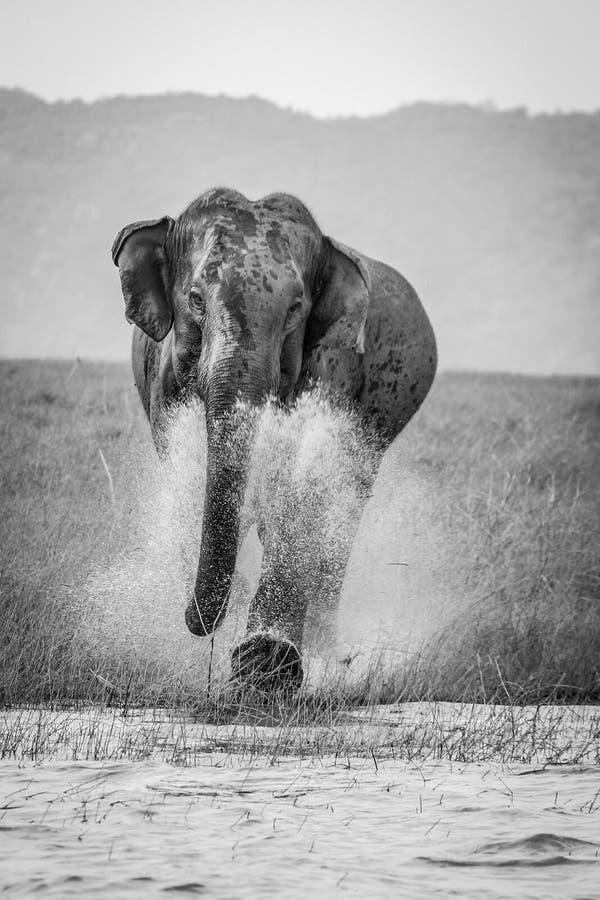 Charging wild elephant royalty free stock photo