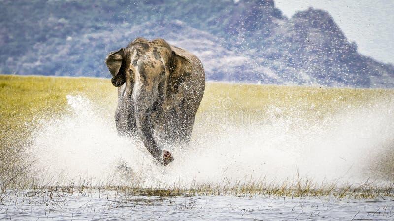 Charging wild elephant on water , Sri lanka stock photo