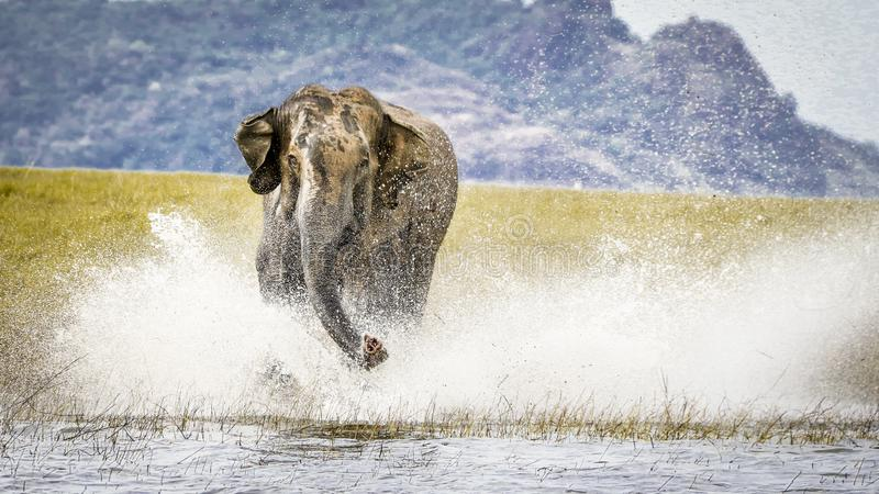 Charging wild elephant on water stock photography