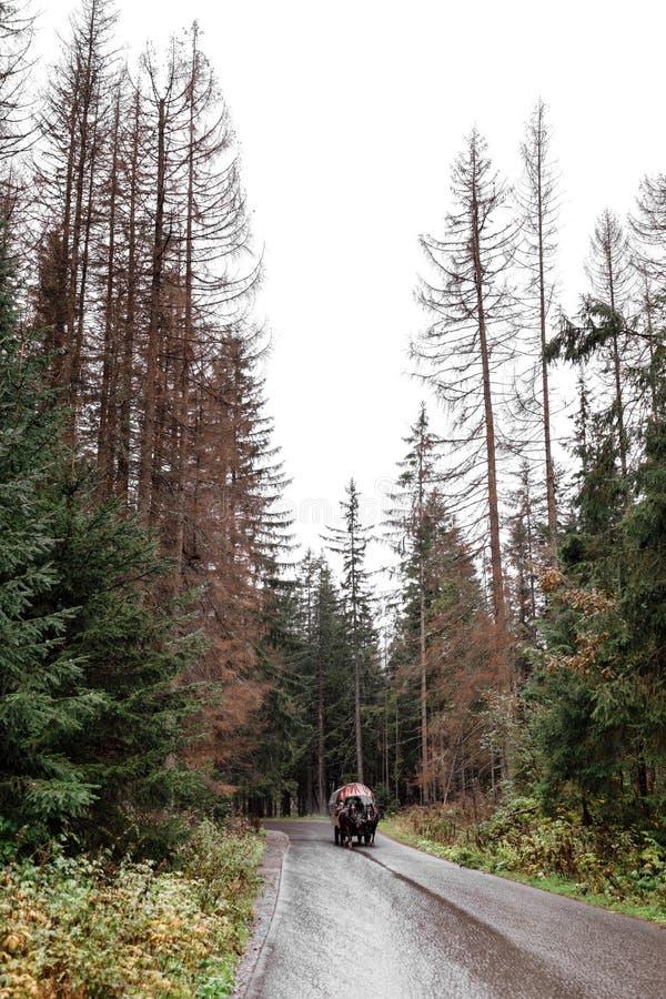 Chariot sur la route goudronnée humide dans la forêt à l'automne Morske Oko, Pologne, l'Europe photo libre de droits