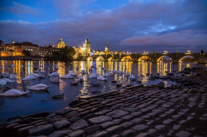 Charles Bridge alla notte ed ai cigni immagine stock libera da diritti