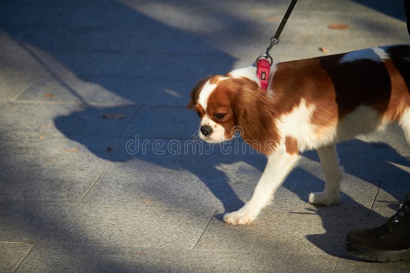 Charles cocker spaniel puppy walking in a city park. Charles cocker spaniel puppy walking in city park stock photography