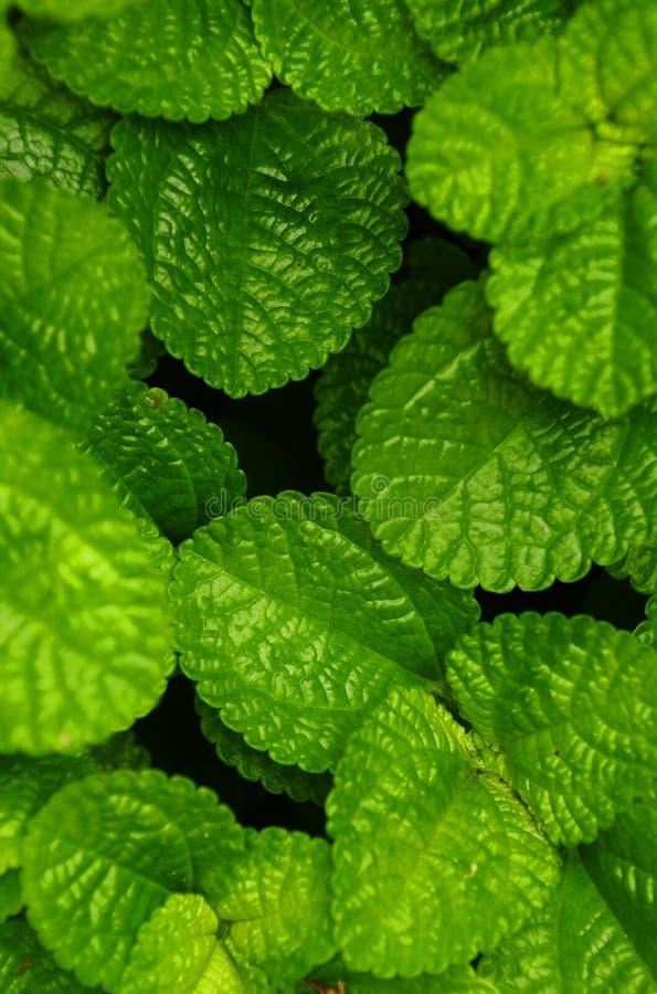 Charlie de rastejamento (nummulariifolia do Pilea) imagens de stock