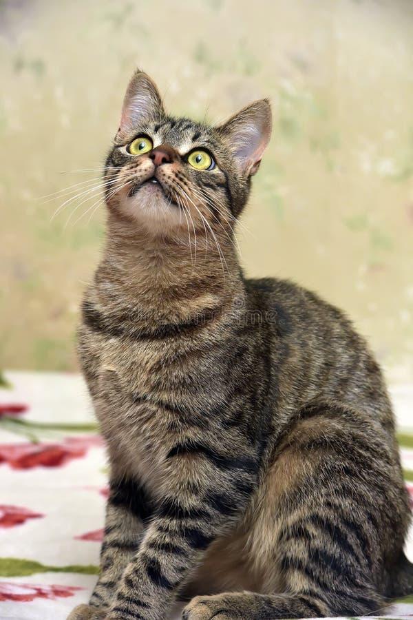 Download Charma den randiga katten arkivfoto. Bild av slappt, raseri - 76702274
